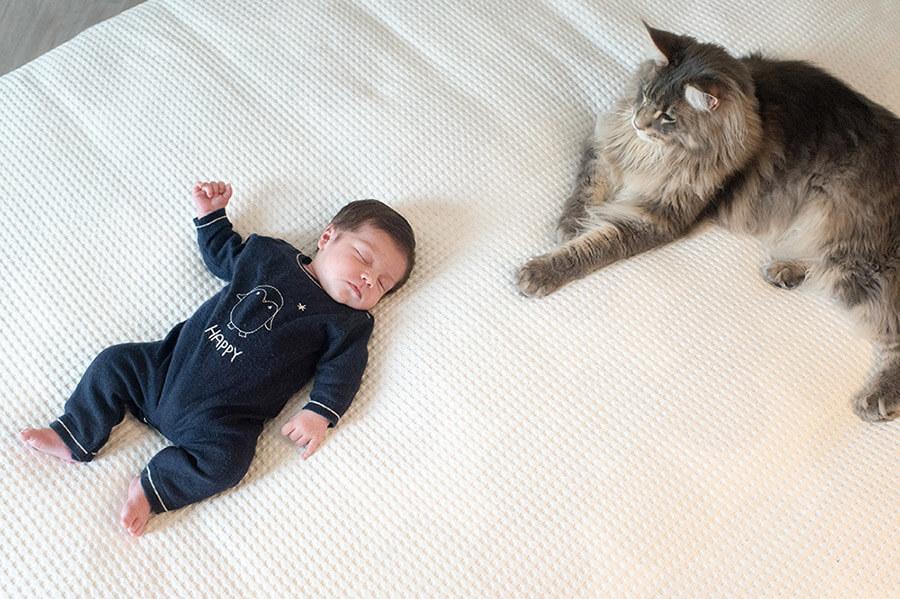Nouveau-né sous le regard d'un chat Maine coon gris.