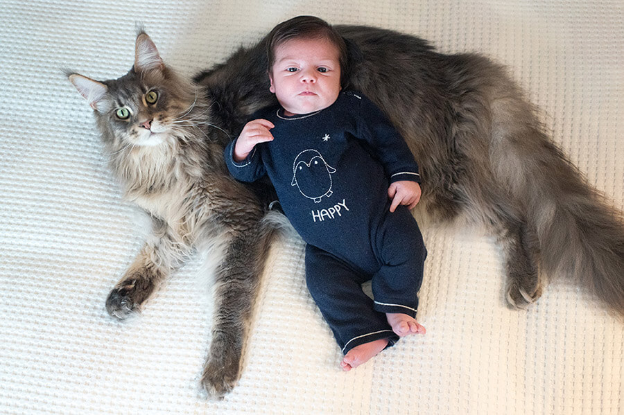Portrait original d'un nouveau-né et d'un gros chat Maine coon gris.
